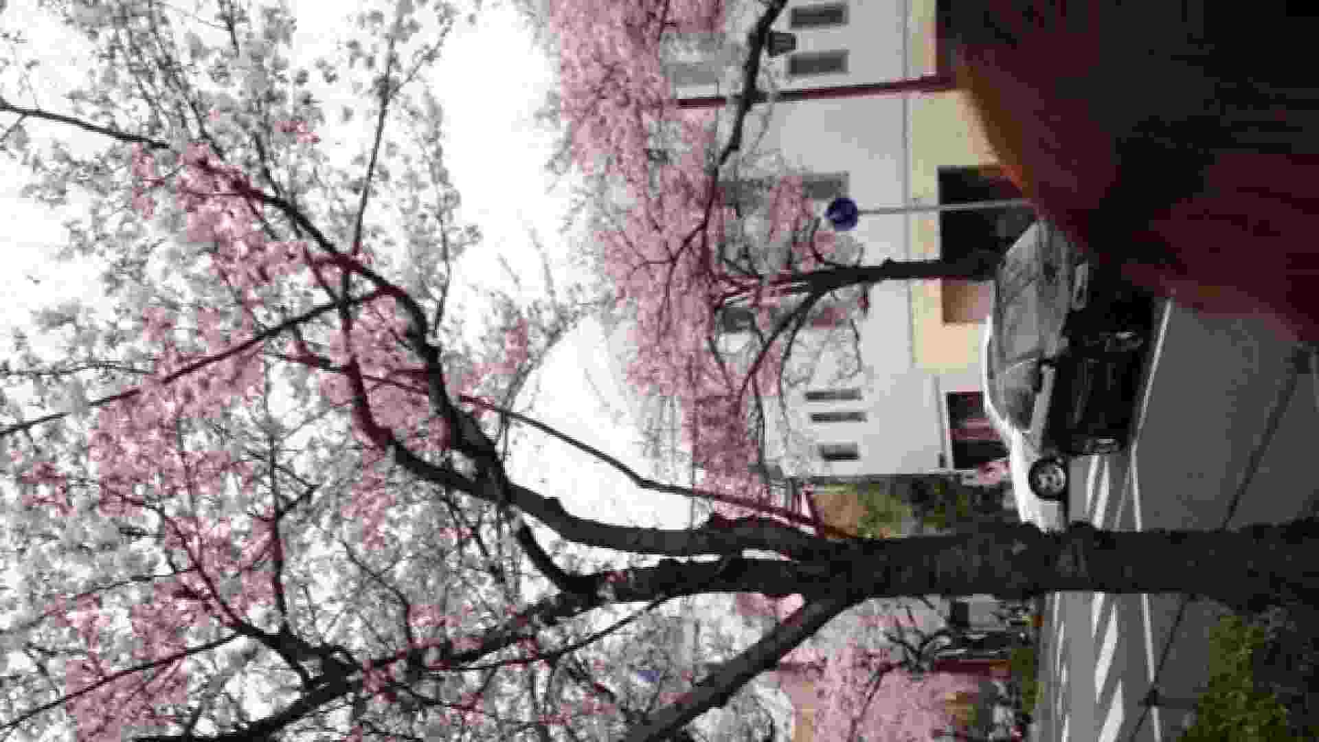 23(19日目)桜を見ながらお散歩 マンコ  91pic 52